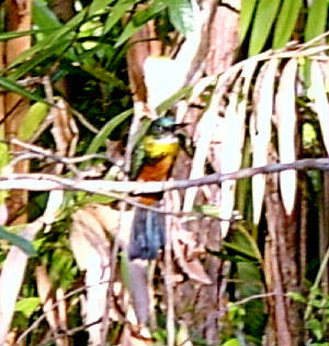 webgreentailedjacamar.jpg